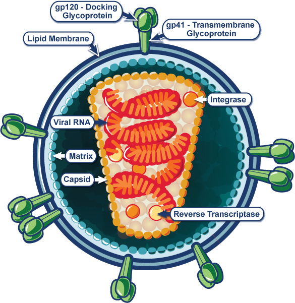 Graphic of the HIV virus structure