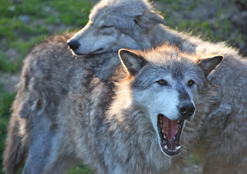 Gray wolves looking cute.
