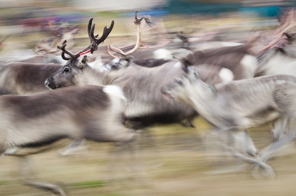 Reindeer on the run in Norway.